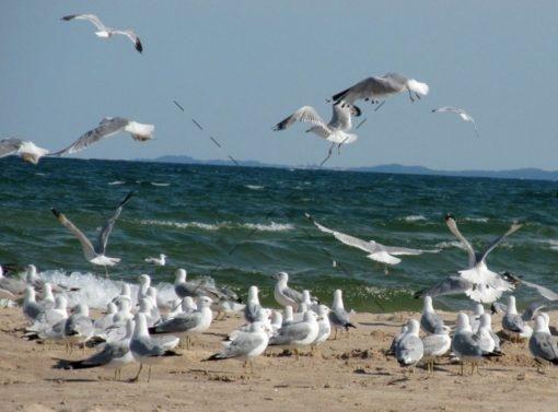 02 Gulls Party Along Lake MI