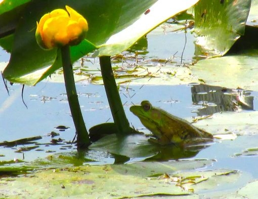 80-Frog on Lily Pad