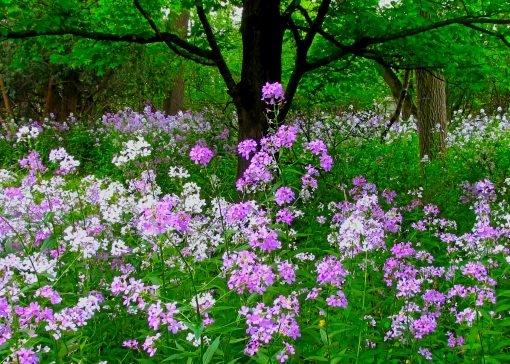_Burst of Michigan Spring - wild flocks