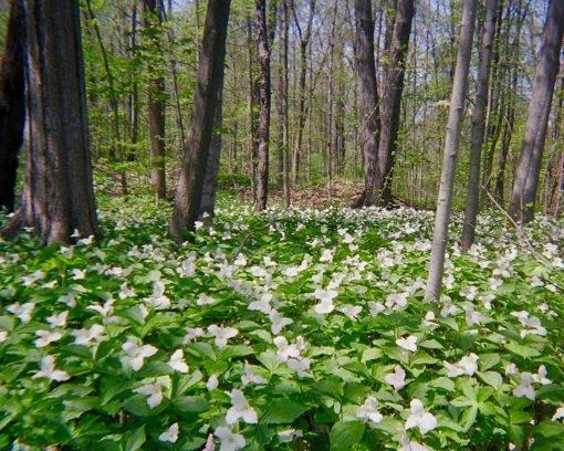 magicaltrilium-carpet-in-michigan-woods