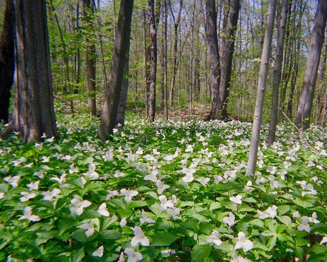 Magical Trilium Carpet in Michigan Woods