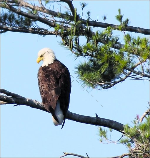 majestic-eagle-surveying-his-territory