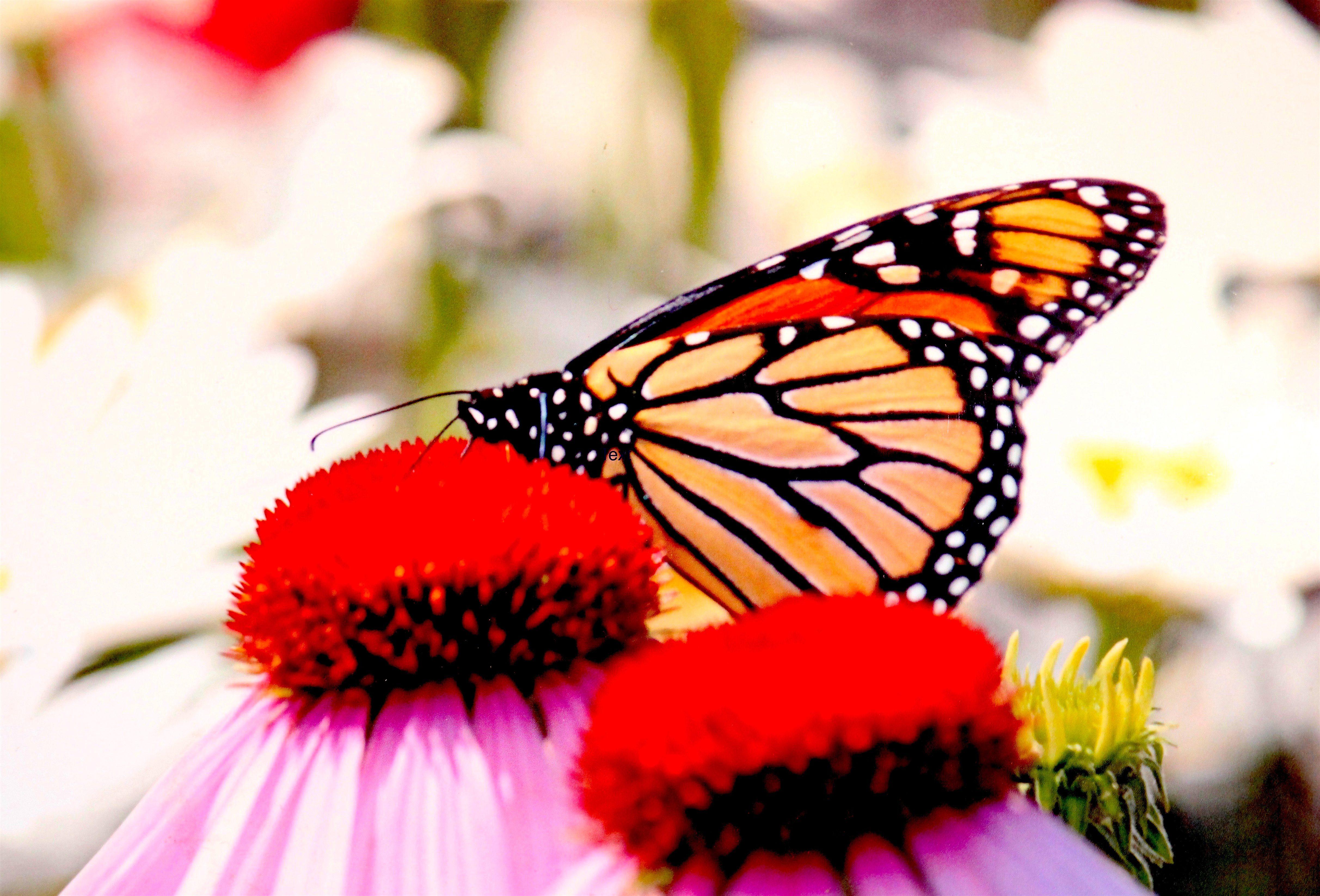 Monarch Beauty Enhances Flower Garden