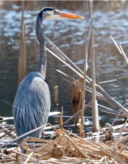 judge-blue-heron-presiding