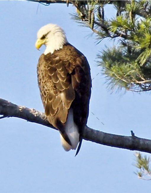 majestic-eagle-has-eye-on-you