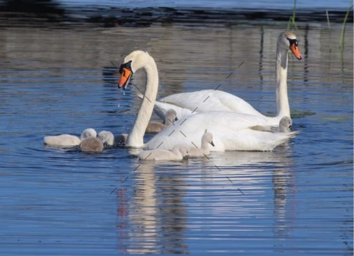 swan-family-teaching-lesson-101